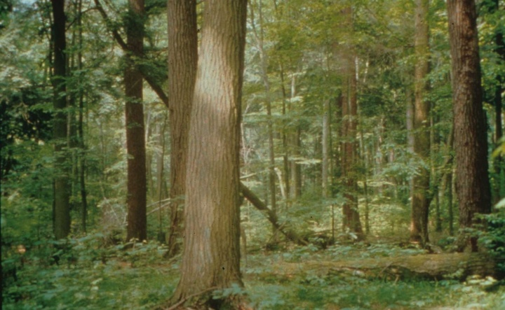 Figure 1: The 'original' forest: Tionesta Old Growth Area, Allegheny National Forest (Source: US Department of Agriculture, Forest Service, Allegheny National Forest)